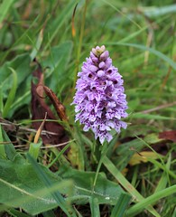 Common Spotted Orchid. Dactylorhiza fuchsii (Martellotower) Tags: pyramidalorchid common spotted orchid dactylorhiza fuchsii dactylorhizafuchsii