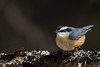 Red Breasted Nuthatch (NicoleW0000) Tags: redbreastednuthatch bird wildlife nature outdoors darkbackground moss lichen treebranch