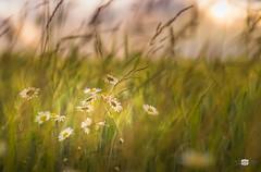 Corn and flowers (Mira mella) Tags: kornfeld sommer blume samyang 85