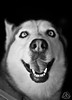 _DSC0014-2 (classic77) Tags: siberian husky dog canine k9 pet smiling smile teeth happy