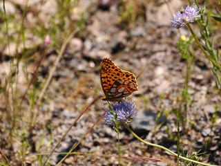 Insect, Butterfly, Fritillary, Queen of Spain P1050437