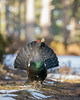 Capercaillie (Chas Moonie-Wild Photography) Tags: capercaillie scotland caledonian pine forest bird winter