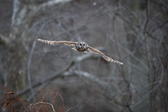 Flying into the  Night...{Explored} (DTT67) Tags: barred owl barredowl bird bif birdofprey nature wildlife canon 1dxmkii flight forest dusk