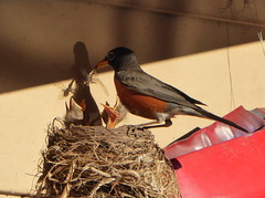 Dragonflies for dinner (yooperann) Tags: robin three babies young shadows dragonflies mealtime hungry nestlings