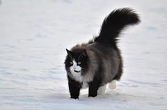 BobKatt 2017 (KvikneFoto) Tags: bobkatt cat katt vinter winter snø snow tamron nikon bokeh