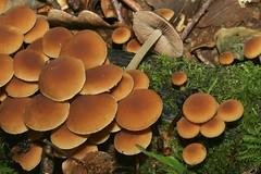 Psathyrella laevissima (Romagnesi) M.M. Moser ex Singer, 1969 = Drosophila laevissima Romagnesi, 1952. (chug14) Tags: unlimitedphotos champignon pilze mushroom fungus fungi funghi psathyrellaceae drosophilalaevissima psathyrellalaevissima