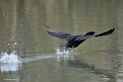 Cormorant take off (JSB PHOTOGRAPHS) Tags: nd3246800001 cormorant altonbakerpark pond water nikon d3 nikon200500mmafsgf56evr wildlife