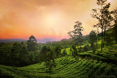 Munnar, Kerala, India (Suresh V Raja) Tags: munnar kerala nature landscape sunrise sunset dawn colors beautiful nikon suresh chennai tamilnadu india sureshcprog sureshphotography d5300 trees