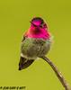 Anna's Hummingbird (orencobirder) Tags: smallbirds flickrexport birds hummingbirds