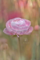 Tecolote® Giant Ranunculus II ( Persian Buttercup) (Zara Calista) Tags: nikon pink flower plant light bokeh dof tecolote® giant ranunculus buttercup persian