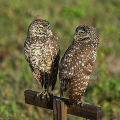 Seeing eye to eye (Fred Roe) Tags: nikond7100 nikkorafs80400mmf4556ged nikonafsteleconvertertc14eii nature wildlife raptor birds birding birdwatching birdwatcher owl burrowingowl athenecunicularia