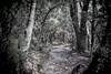 Pinhole Path (Eddy Summers) Tags: pentaxk1 pentaxaustralia bluemountains bluemountainsnationalpark path woods desaturated wideopen fa50mm14