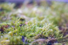 Musgo (MarCaLo) Tags: musgo verde green nature naturaleza museo lugo sony moss