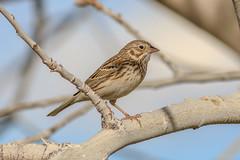 Vesper Sparrow (gilamonster8) Tags: arizona tucson lakesidepark canon ngc flickrelite sparrow explore eos explored 5dmarkiv ef400mm56l tree twig bokeh beyondbokeh bird blue beak brown branch park plant