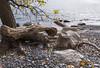 2017-10-22_11-40-49 Lake Ontario Beach (canavart) Tags: autumn princeedwardcounty ontario canada lakeontario lakeshore maple mapletree leaves fall