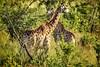 Giraffenkreuzung... (D.Purkhart) Tags: giraffen kruegerpark mpumalanga mtethomusha gamereserve southafrica kruegernationalpark southafrican wildlife wildanimals