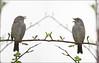 KUS850-1726 (Weinstöckle) Tags: heckenbraunelle vogel spiegelung