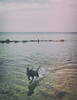 09.04.18 (Kirby_Wilson) Tags: water dog spanishwaterdog perrodeaguaespañol pet swimming sea oresund sweden baltic spring