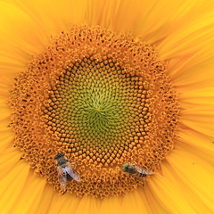(johey24) Tags: flowers bees sunflowers yellow 4x4 mygarden