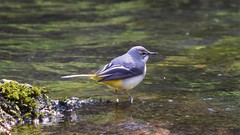 Grey wagtail (tobystacey) Tags: wagtail tail greywagtail grey naturephotography nature naturel natureshots naturebest photography photo animal animalphotography wildlife bird