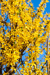 Branches of forsythia covered by yellow blossoms over blue sky (adp_cz) Tags: e0002 backgrounds bloom blossom blue botany branch branches bright bush clear color colorful country countryside day environment flora forsythia garden gold golden growth leaf leaves light lush natural optimistic outdoor outdoors park peaceful plant plants portrait season seasonal seasons shrub sky spring stem summer sunlight sunny twig vegetation vertical vibrant yellow