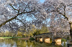 Beautiful spring! (Nina_Ali) Tags: blossom bridge abbeypark leicester april2018 spring2018 england 7dwf sunshine nature nina ali ninaali