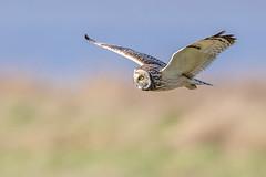 Short Eared Owl (Glenn.B) Tags: aust gloucestershire owl shortearedowl bird birdofprey scrubland