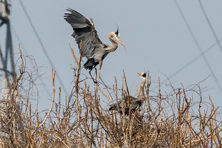 Great Blue Herons Nesting at Conowingo Dam-2