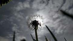 Dandy Day ! (tend2it) Tags: bay area nature trail piedmont calif ca dandy lion sun sky cloudy bug eye view