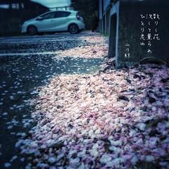 散りし花 況(ま)して薫らめ ひとり老ゆ[山乃鯨] #haiku #photohaiku #poetry #spring #micropoetry #春 #フォト俳句 #Japanese #写真俳句 #俳句 #snapseed #phonto #jhaiku #mpy #vss #3lines #poem #shortpoem #verse #actuallyautistic #autisticpoetry #失恋 #恋歌 #恋俳句 #love (Atsushi Boulder) Tags: heartbreak brokenheart 季語 五七五 photo photography literature japan 575 haiku photohaiku poetry spring micropoetry 春 フォト俳句 japanese 写真俳句 俳句 snapseed phonto jhaiku mpy vss 3lines poem shortpoem verse actuallyautistic autisticpoetry 失恋 恋歌 恋俳句 love
