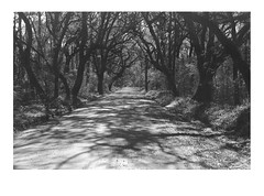 The Road to Botany Bay WMA 9x6 print (dungan.robert) Tags: blackandwhite yellowfilter film 120 asa100aristaedufomapan caffenolcmrs mediumformat southcarolina photograph print legacyproecoprobwpaperdev ilfordmgivrcdeluxe 6x9 monochrome printedbyrobertedungan voigtlanderbessarangefinder120 skopar copyrightrobertedungan2018 omegadiienlarger nikon135mmlens edistoisland botanybay dirtroad