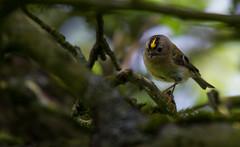 Goldcrest (dusk_rider) Tags: goldcrest tiny small bird england uk nikon d7200 200500mm