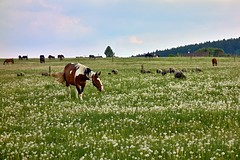 Horses and sheep (Yirka51) Tags: agriculture appetite country countryside entertainment farming fauna flora flower grass leaf leaves meadow nature plant spring springtime taste horse dandelion bridle food feed pasture