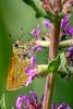 Rostfarbiger Dickkopffalter - Ochlodes sylvanus (marco.federmann) Tags: ochlodes sylvanus rostfarbiger dickkopffalter schmetterling makrofotografie natur