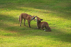 Jaws (Deepgreen2009) Tags: play foxes wildlife jaws mouth fighting assessing siblings game youth young garden home canine