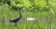 Blue heron - 6/19/18 (myvreni) Tags: vermont spring nature outdoors wildlife birds heron blueheron