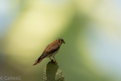 cuyaya / AmericanKestrel  (Falco sparverius) (Gogolac) Tags: 2018 americankestrel aves bird birdphotography birdie birds canon7dmii cernicalo cuyaya falcosparverius fauna lagoenriquillo location year birdspot birdingrd birdsspotters republicadominicana