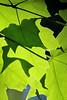 Shadow play (cheryl.rose83) Tags: leaves shadows green