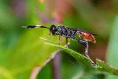 (Shane Jones) Tags: wasp insect wildlife nature nikon d7200 tamron180mmmacro pk3extensiontube pk3x2 macro macrolife macrophotosnolimits macrolicious