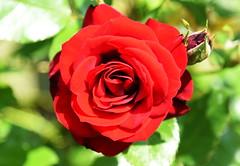 DSC_0259 (PeaTJay) Tags: nikond750 reading lowerearley berkshire macro micro closeups gardens outdoors nature flora fauna plants flowers rose roses rosebuds