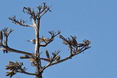 IMG_1055 (armadil) Tags: sanfranciscobotanicalgarden sfbotanicalgarden birdwalk bird birds hummingbird allenshummingbird sanfrancisco sanfranciscobotanicalgardens