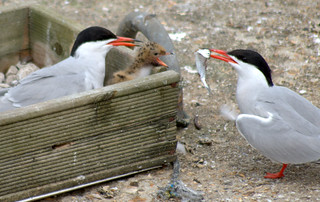 Hungry Terns