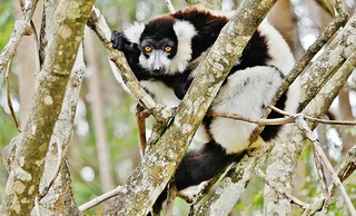 Black and White Ruffed Lemur (Varecia variegata)_
