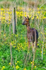 Roe Deer (Margaret S.S) Tags: roe deer doe