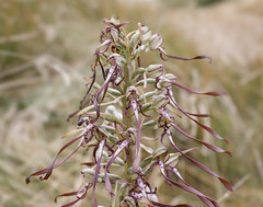 Lizard orchid (Steve Balcombe) Tags: flower lizard orchid himantoglossum hircinum berrow burnham sand dunes somerset uk naturephotography