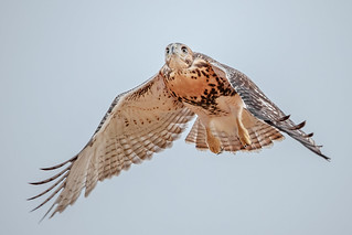 Timid Fledgling Red-tailed Hawk