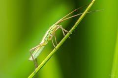Chorosoma schillingi (Shane Jones) Tags: chorosomaschillingi chorosoma bug insect wildlife nature nikon d7200 tamron180mmmacro pk3extensiontube pk3x2 canon500d macro macrolife macrophotosnolimits macrolicious
