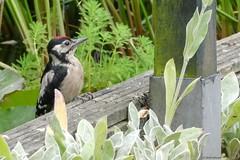 Great spotted woodpecker bathing (jehazet) Tags: grotebontespecht inmygarden vogel bird jehazet