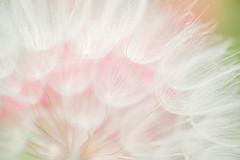 abysses (christophe.laigle) Tags: rose christophelaigle fleur macro salsify flower fuji nantes parcdelaroseraie xpro2 xf60mm nature