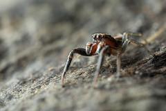 Icius hamatus ♂ (AquaNat-photo) Tags: salticidae jumpingspider salticidé saltique france fr mpe mpe65mm spider araignéesauteuse arachnid arthropoda